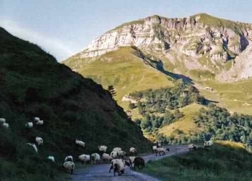 Walking in France: Black-legged Pyrenean sheep