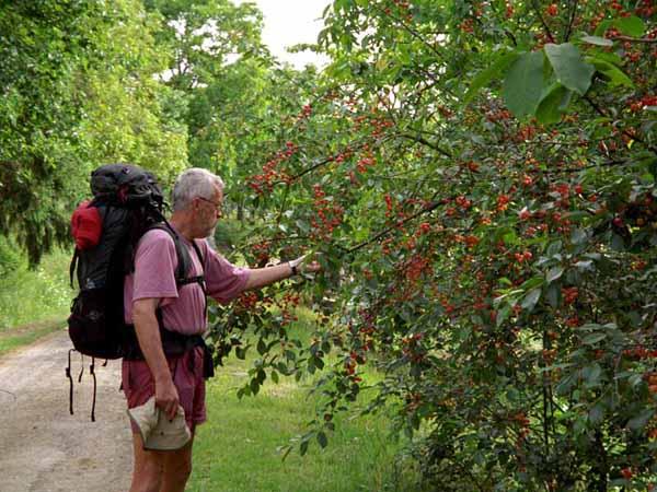 Walking in France: Sampling some wayside cherries