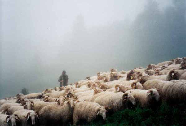 Walking in France: A shepherd and his flock emerging from the fog