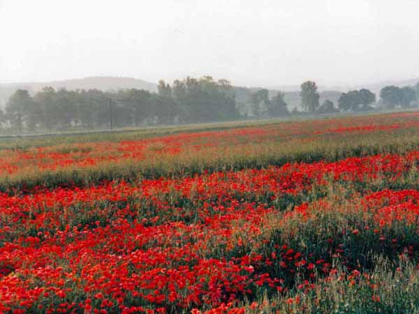Walking in France: Early morning on the road. Poppies near Tournon-d'Agenais