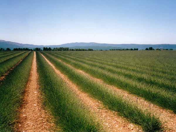 Walking in France: Provence lavender farm