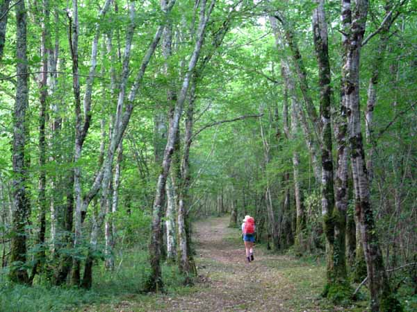 Walking in France: After leaving les Eyzies, a walk through a beautiful birch forest