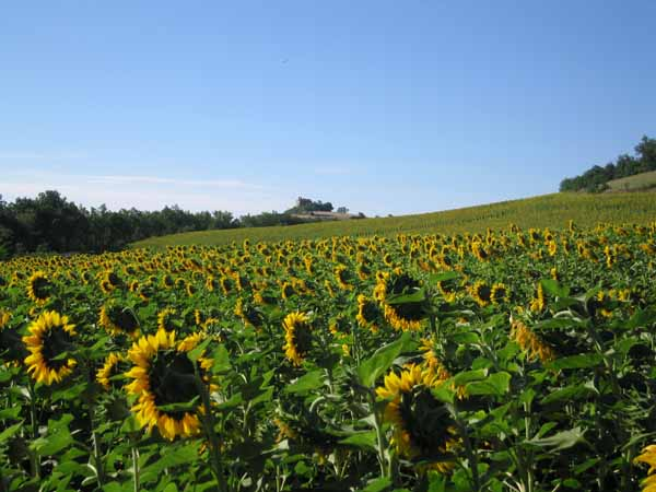 Walking in France: A field of sunflowers beside the old railway line