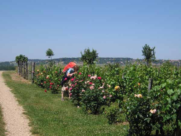 Walking in France: Smelling the roses near Dissay (with another GR sign)