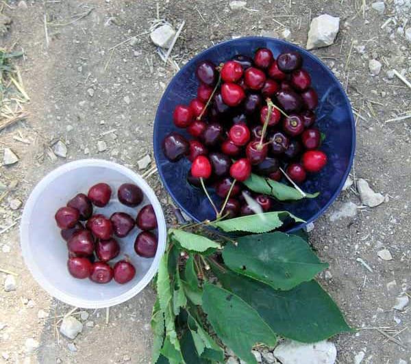 Walking in France: Beautiful cherries