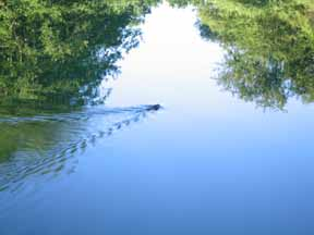 Walking in France: An otter swimming away