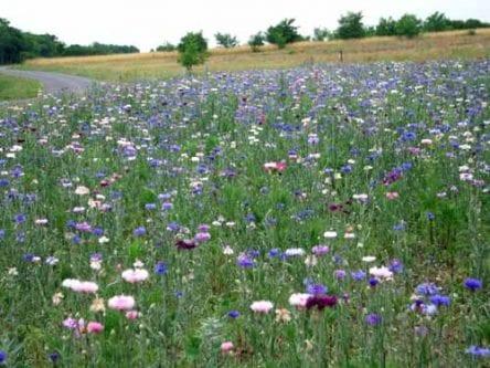 Walking in France: Field of flowers near Châtillon