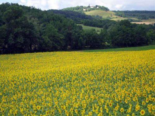Walking in France: Looking across a field of sunflowers to Montlauzun