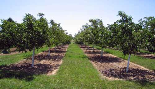 Walking in France: Young walnut trees near Brens