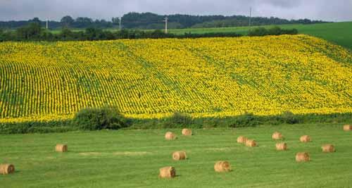 Walking in France: Sunflowers and haybales near Castelnau-de-Montmiral