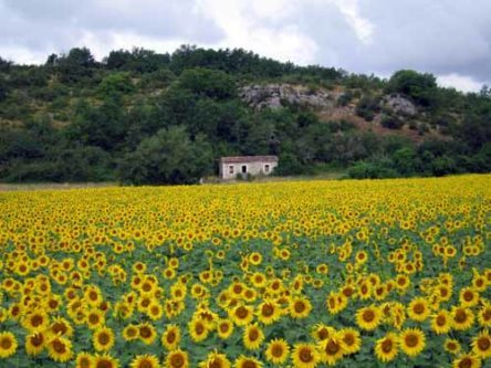 Walking in France: Sunflowers on the back way to Montricoux