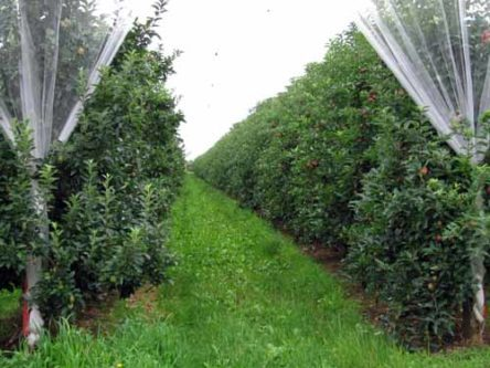 Walking in France: An apple orchard veiled in white muslin