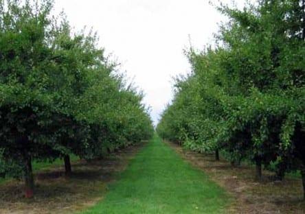 Walking in France: Prune orchard near Beaumont-du-Périgord