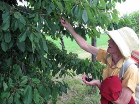 Walking in France: Cherries on the way to Sorges