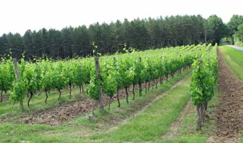 Walking in France: Vineyards near Bergerac
