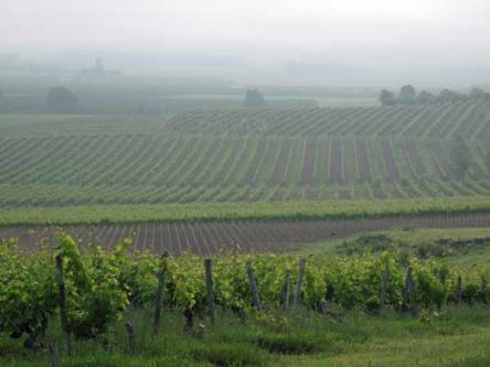 Walking in France: More Montbazillac vineyards through the morning mist