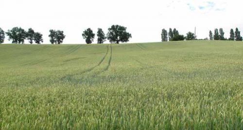 Walking in France: Wheatfields near Montclar