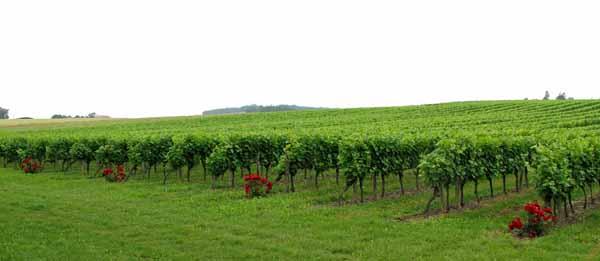 Walking in France: Armagnac vineyards near Ayguetinte on the way to Castéra-Verduzan
