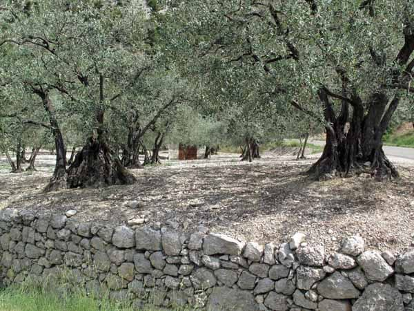 Walking in France: Part of the ancient olive grove near Buis-les-Baronnies