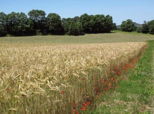 Walking in France: Golden wheat near le Caylar