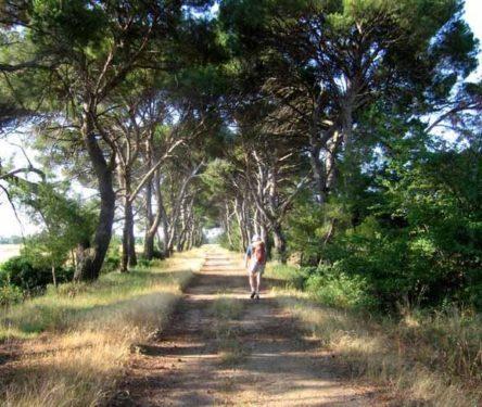 Walking in France: Avenue of Mediterranean pines near the Domaine de la Jourdane