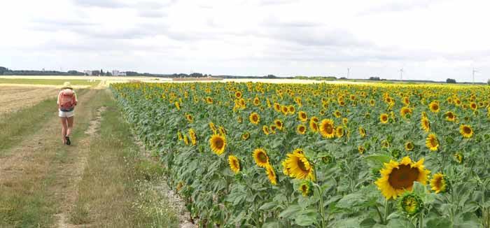 Walking in France: Sunflowers near Allouis