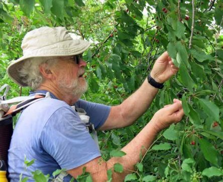 Walking in France: Cherry picking