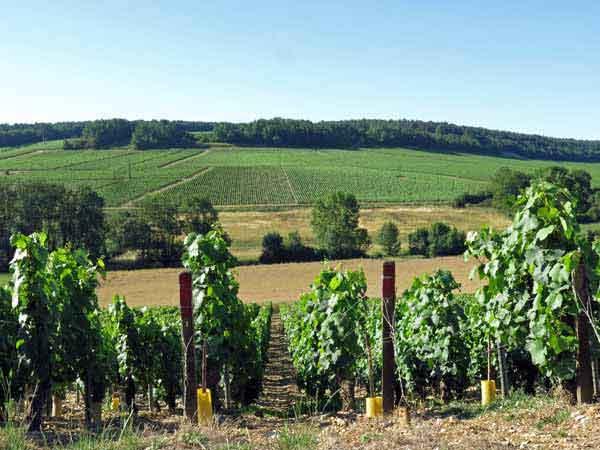 Walking in France: Chablis vines