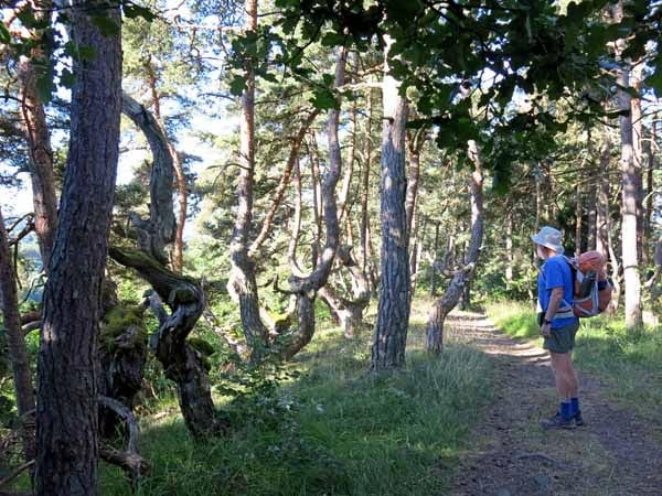 Walking in France: Twisted pine forest