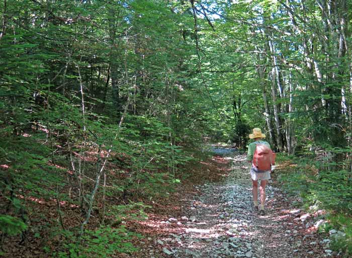 Walking in France: In a forest of birch and pine