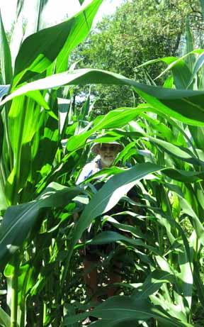 Walking in France: Heavy going in a cornfield