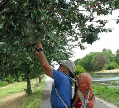 Walking in France: Cherries for the passing walker