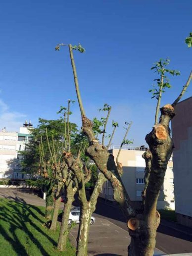 Walking in France: Pruning in the French brutalist style