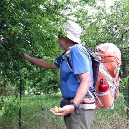 Walking in France: Free yellow plums in Lezat
