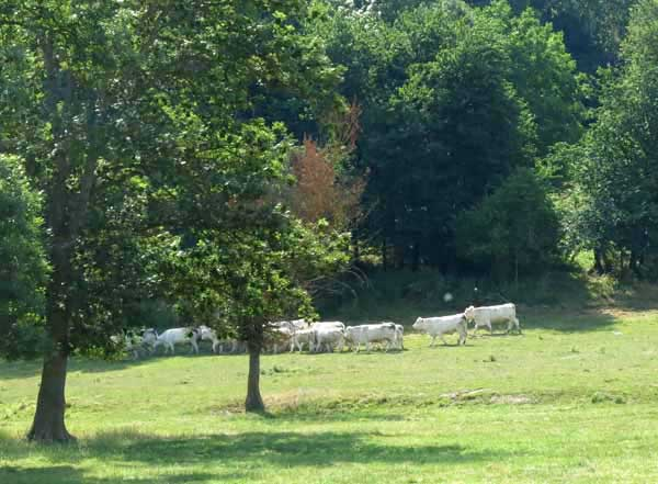 Walking in France: Contented cows