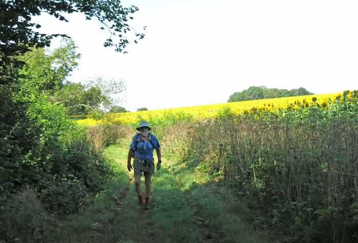 Walking in France: Sunflowers